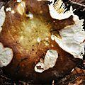 Russula sp (11)