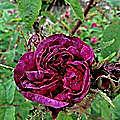 les rosiers 'muscosa' du jardin