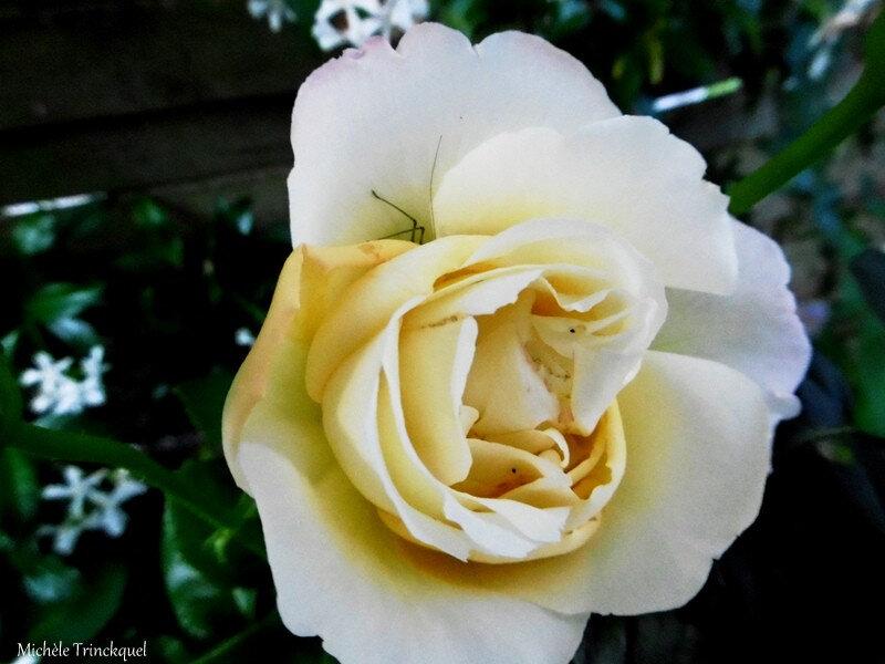 Rose et Sauterelle 090718