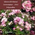 Rose ancienne : 'Gloire d'Orléans'