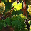 Vendanges Guimbelot