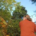 taille des rosiers liane ('Seagull') à l'assaut de la pergola, à 2m de hauteur