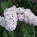Le lilas dans le jardin