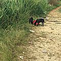 2 chiots Nord Basse Terre