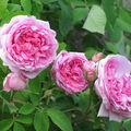 Quelques roses glanées...