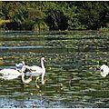 Lac Cygnes 01101511