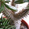 Pachypodium rosulatum (2)
