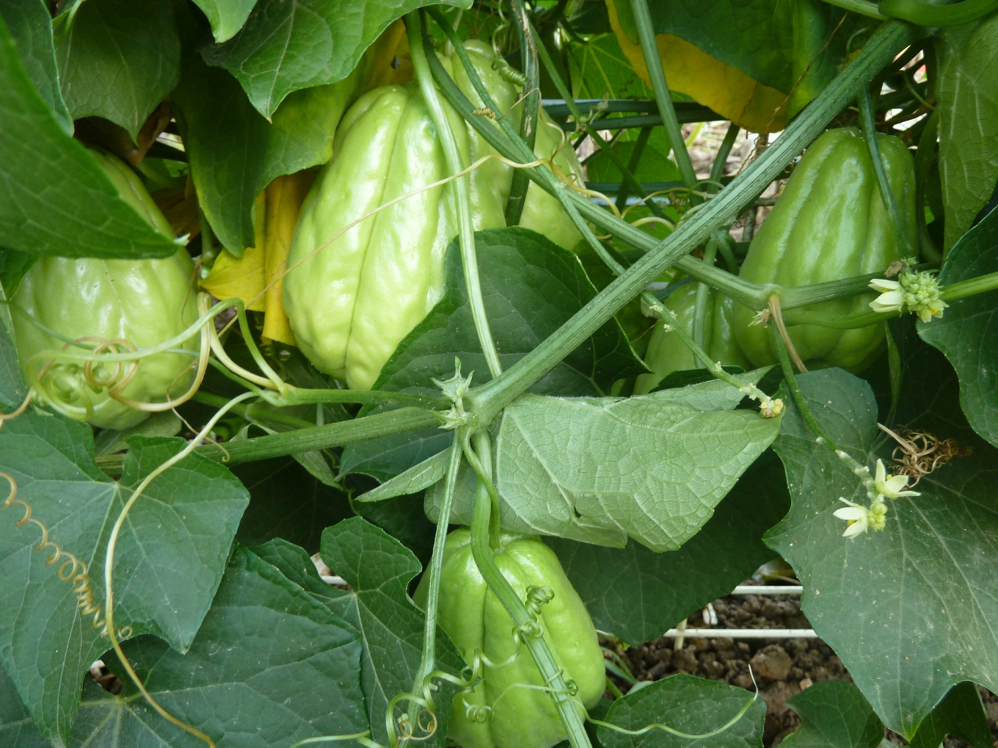 chayottes - christophines - www.passionpotager.canalblog.com