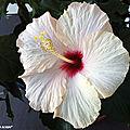 Les hibiscus de chine fleurissent nos appartements...