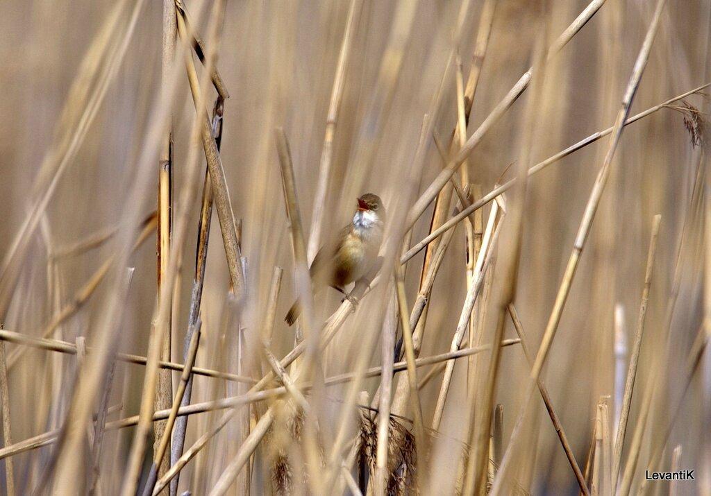 Rousserolle Effarvatte - Acrocephalus Scirpaceus
