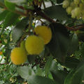 arbutus x andrachnoides