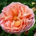 rose anglaise Abraham Darby