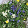 2009 06 29 Fleurs sauvages sur le shauteurs du Grand Veymont sur le point culminant du Vercors (16)
