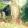 L'arbre fetiche du maitre marabout agassou qui rend riche