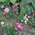 2008 09 16 Mes reines marguerites en fleurs