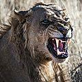 lion pas content