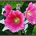 Roses trémières 250615