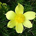 anémone soufrée (Pulsatilla alpina apiifolia)
