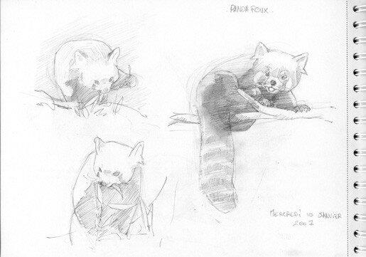 Naissance d 39 un personnage 2 la bambouseraie - Panda roux dessin ...