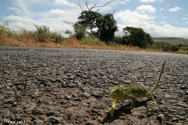 cameleon on the road