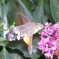 Spynx colibri