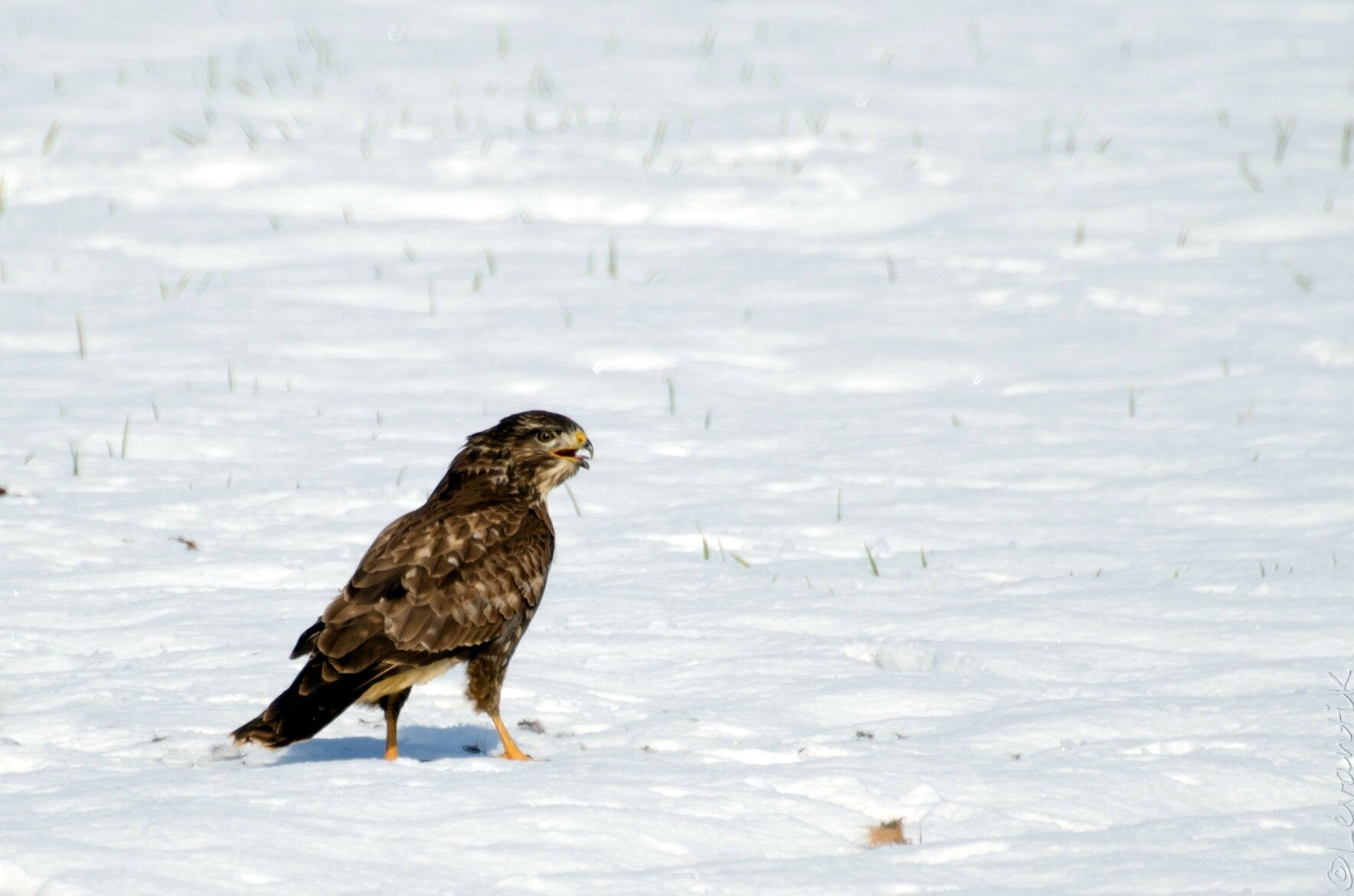 Buse variable - buteo buteo (8)
