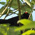 Tangara couronné (tachyphonus coronatus)