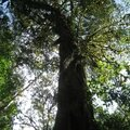 Wangari maathai : la source du figuier