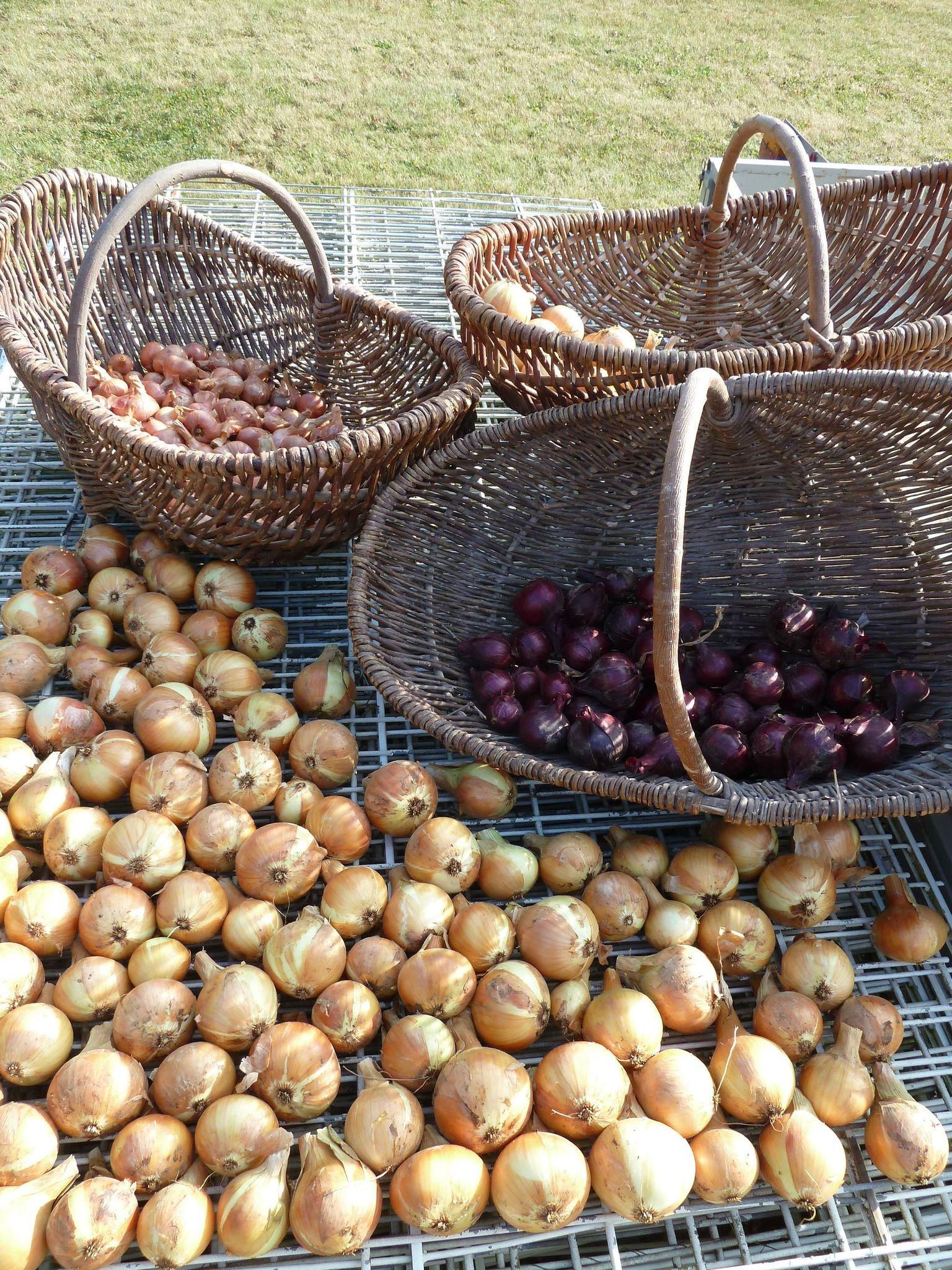 oignons rouges, oignons jaunes, échalottes www.passionpotager.canalblog.com