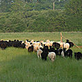 Moutons Landes de Bretagne Ferme du Vallon de Toulan