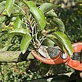 Samedi 24 mars : formation sur la taille des arbres fruitiers