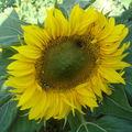 2008 08 31 Une fleur de tournesol nain sunpot