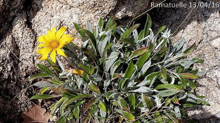 capitule solitaire sur un pédoncule dépassant à pein les feuilles