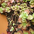 Sedum spurium purpureum