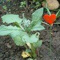 Petit plant de bourrache déménagé (il n'a pas aimé ! C'est un rescapé) - avril 2007