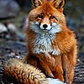 Pinterest addict - what does the fox say ?
