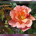 2016.11.05 les nouveaux rosiers de balanicole