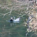 lutte pour le repas (cormoran et goéland)