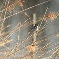 bruant des roseaux mâle