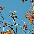 cormoran Perché