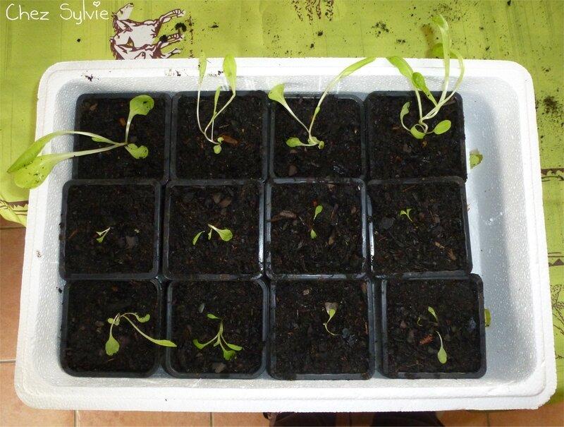 Semis salades 13-04-18 repiqués