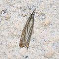 Chrysoteuchia culmella ( Crambus des jardins)