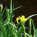Iris aquatiques 2804169