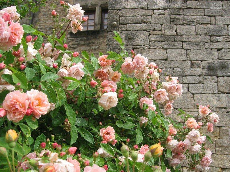 Rose ancienne : 'Cornelia'