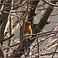 Rougegorge familier ou rubiette (Erithacus rubecula)