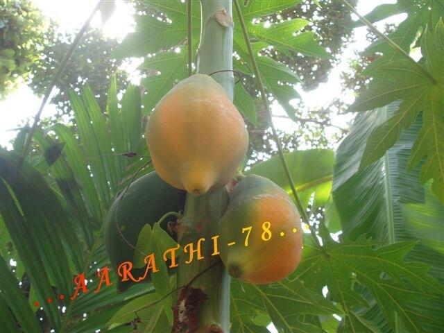 Papaya - Verger de ma Maman .
