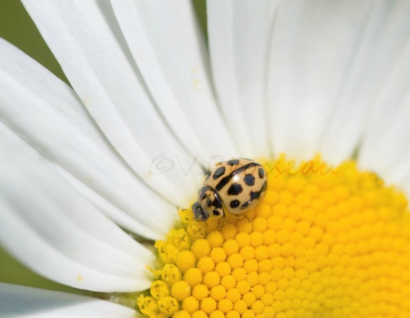 coccinelle rose03