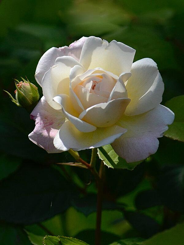 Rose Giselle 3 06-06-18
