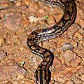 Epicrates maurus (juvénile) - Boa des plaines