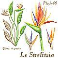 Etude botanique : Le Strelitzia